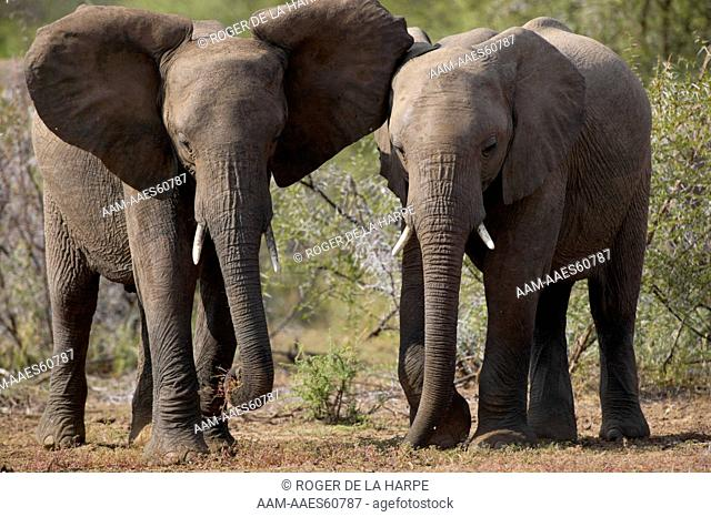 The Elephant (Loxodonta africana) on the right has aproached the one feeding on the left. The feeding elephant shows aggression by spreading its ears while the...