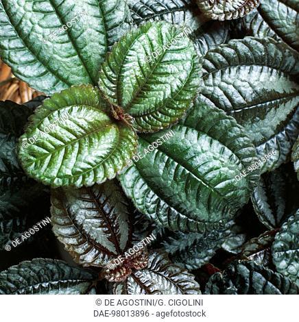 Norfolk friendship plant (Pilea spruceana Norfolk), Urticaceae