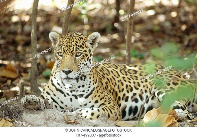 Jaguar (Panthera onca). Venezuela