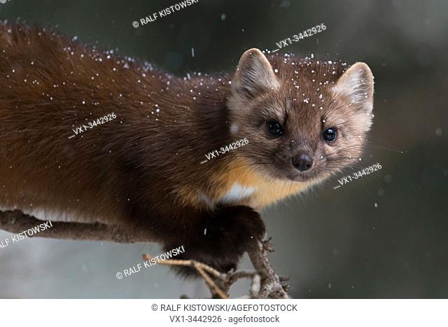 Pine Marten (Martes americana) in winter, close-up of a playful young animal climbing in a tree, Yellowstone NP, USA.