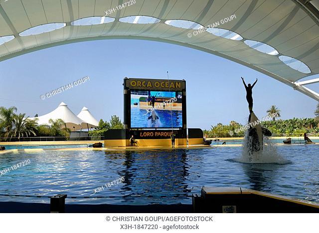 orca aquatic show, Loro Parque, Puerto de la Cruz, Tenerife, Canary Islands, Atlantic Ocean