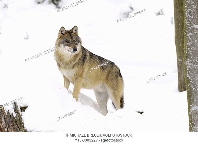 Grey Wolf, Canis lupus, Bavarian Forest National Park, Germany, Europe
