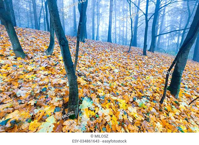 Beautiful autumnal landscape of foggy forest with fallen leaves and old tree trunks. Late autumn in polish forests. Tranquil colorful scene