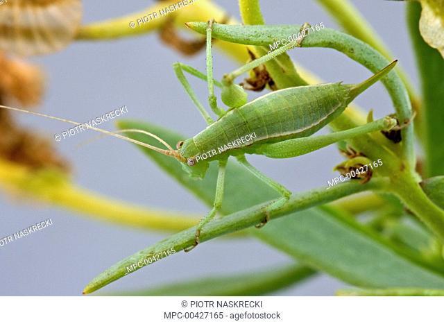 Katydid (Brinckiella mauerbergerorum), a newly discovered species from fynbos habitat, Clanwilliam, Western Cape, South Africa
