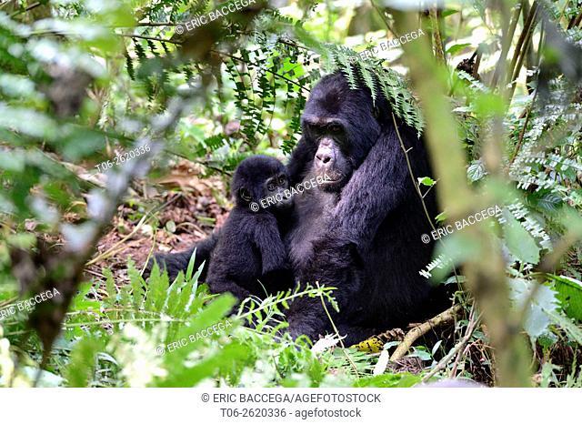 Portrait of female mountain gorilla with baby (Gorilla beringei beringei) Virunga National Park, Democratic Republic of Congo, Africa