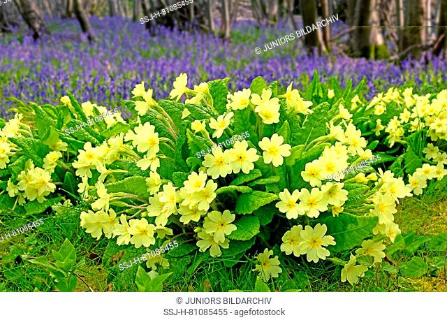 Flowering Common Cowslips (Primula veris) and English Bluebell (Hyacinthoides nonscripta) flowering in forest, Essex, Great Britain