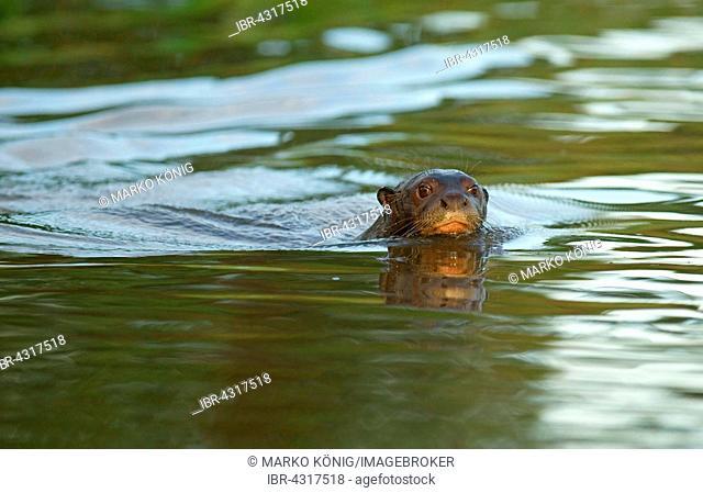 Giant otter (Pteronura brasiliensis) swimming in water, Pantanal, Mato Grosso, Braslien