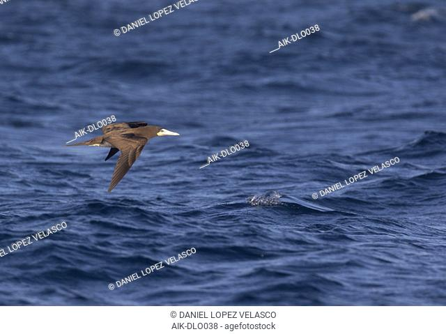 Subadult Brown Booby (Sula leucogaster) in flight low over the Atlantic Ocean off Cape Verde Islands