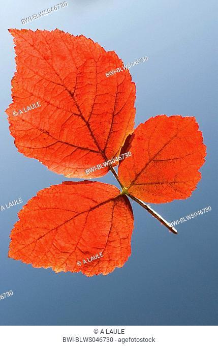 shrubby blackberry Rubus fruticosus, leaf in autumn colours