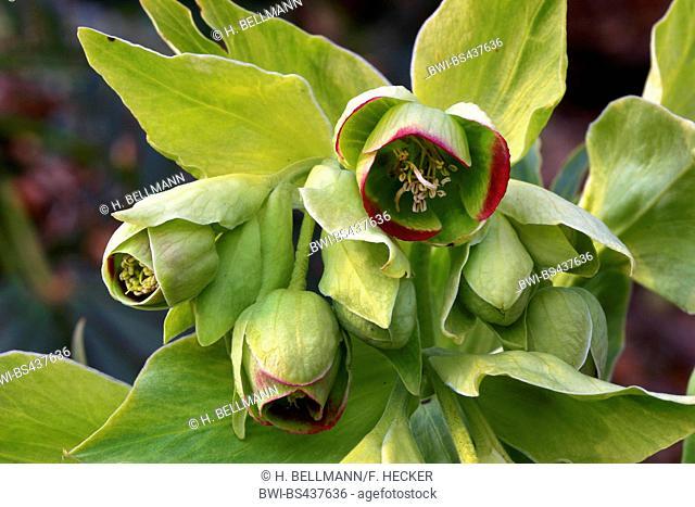 stinking hellebore, bearsfoot (Helleborus foetidus), flower, Germany