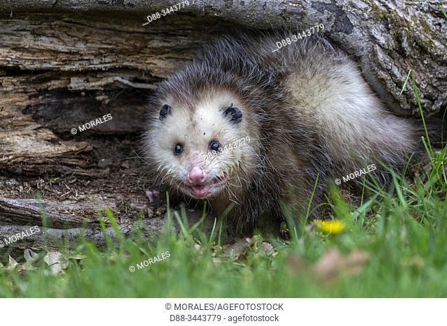 : Etats-Unis, Minnesota , Opossum de Virginie, Opossum d'Amérique, Sarigue d'Amérique du Nord, Sarigue de Virginie ou Opossum d'Amérique du Nord (Didelphis...