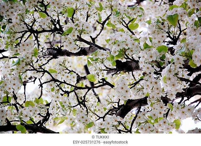 Blossoming spring branches with flowers. Photo background for sping ad, website background, gardening broshure
