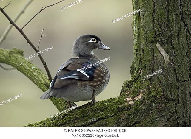 Wood Duck / Carolina Duck ( Aix sponsa ) perched in a tree, watching around, wildlife, Europe