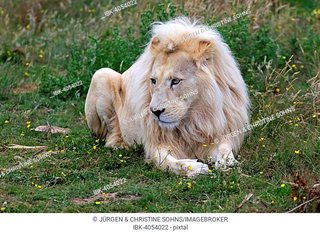 Lion (Panthera leo), adult male, white lion, colour mutation, native to Africa, captive, England, United Kingdom