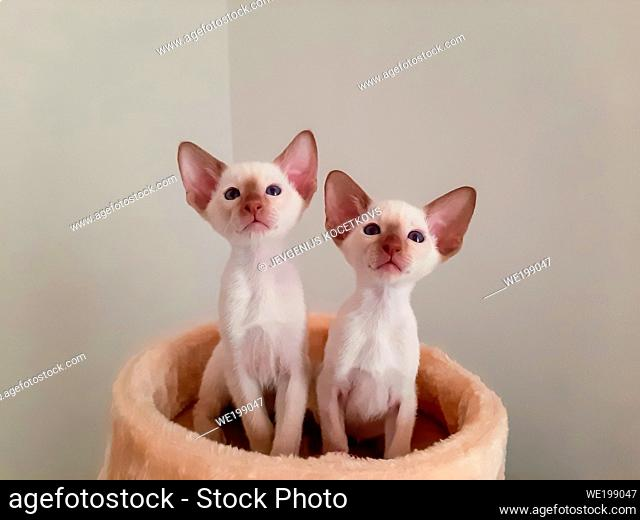 two white siamese kittens with blue eyes looked up