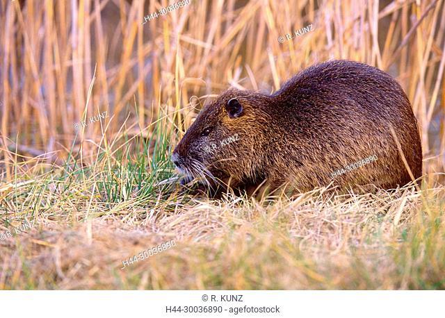 Coypu, Myocastor coypus, Octodontoidae, rodent, mammal, animal, Camargue, Bouches-du-Rhône, France