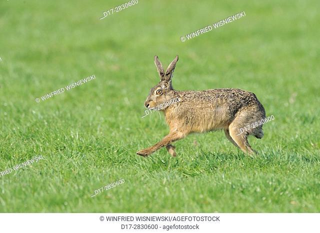 Running European hare (Lepus europaeus), Texel Island, Netherlands | Hoppelnderr Feldhase (Lepus europaeus), Insel Texel, Niederlande