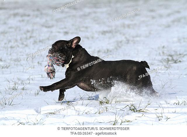 playing French Bulldog