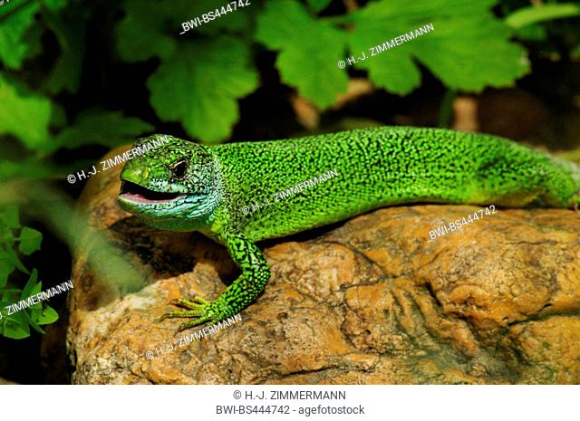 Western Green Lizard, European Green Lizard (Lacerta bilineata, Lacerta viridis bilineata), lying on a stone with slightly opened mouth, Germany