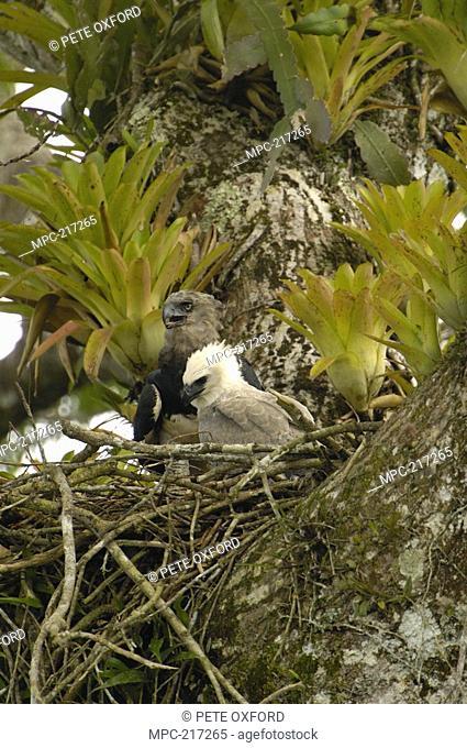Harpy Eagle Harpia harpyja, mother with five month old chick on Kapok or Ceibo tree Ceiba trichistandra, Aguarico River drainage, Amazon rainforest, Ecuador
