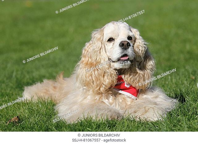 American Cocker Spaniel. Bitch (7 years old) lying on a meadow. Germany