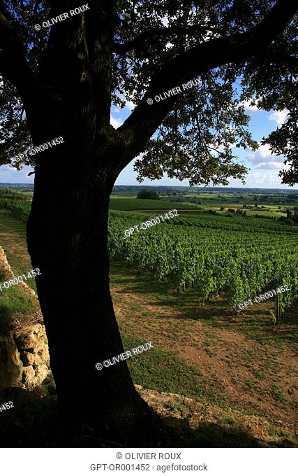 SAINT-EMILION VINEYARD WITH THE HANGING TREE IN THE FOREGROUND, SAINT EMILION, (33) GIRONDE, AQUITAINE, FRANCE