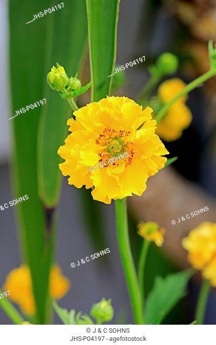 Shasta Daisy, (Chrysanthemum maximum), blooming, Ellerstadt, Germany, Europe