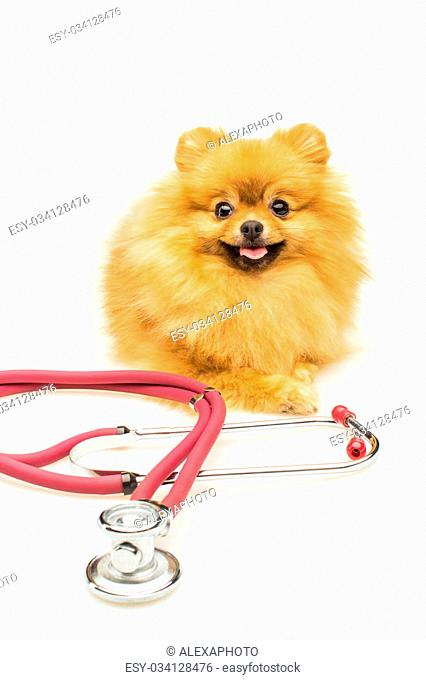 Pomeranian dog isolated on white with red phonendoscope