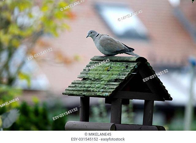 Collared dove, Streptopelia decaocto, single bird on bird table, Warwickshire, November 2014