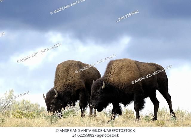Two Buffalo (Bison bison) walking in high grass, groundlevel, with storm clouds behind, Yellowstone national park, United states