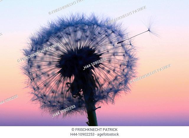 Flower, detail, dusk, twilight, flora, flight, reproduction, back light, sky, ease, light, air, dandelion, macro, close-up, plant, puff, blowball, blowing, seed