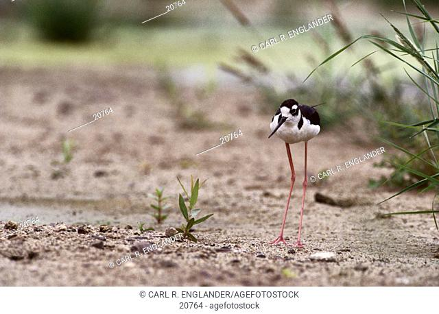 Adult Black-necked Stilt (Himantopus mexicanus) on sand, California, USA