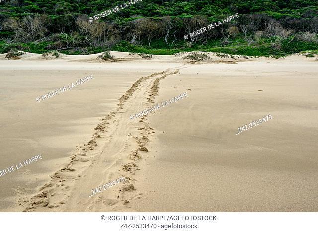 Loggerhead sea turtle (Caretta caretta) tracks leading to a turtle nesting (laying eggs). iSimangaliso Wetland Park (Greater St Lucia Wetland Park)