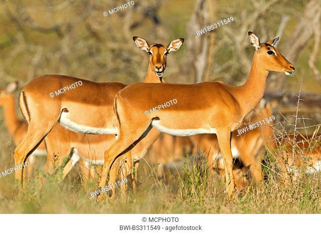 impala (Aepyceros melampus), females in savannah, South Africa, Hluhluwe-Umfolozi National Park