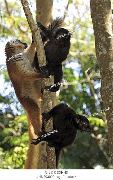 Black Lemur, Lemur macaco, Nosy Komba, Madagascar, group of adults on tree