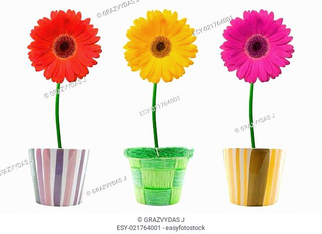 three colorful gerberas