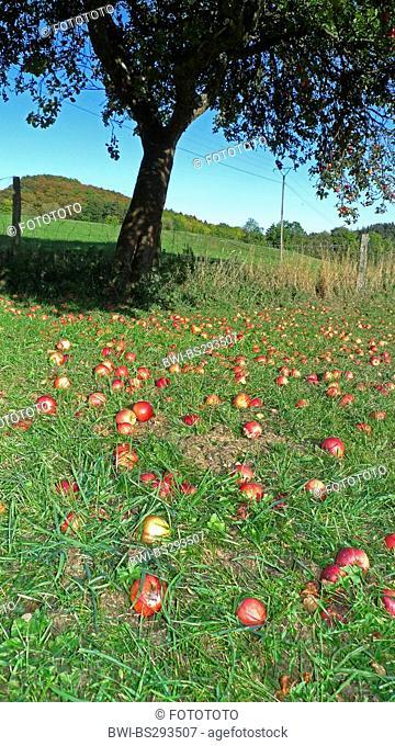 apple tree (Malus domestica), windfall under an apple tree, Germany