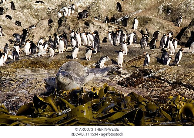 Leopard Seal and Penguins Snares Island New Zealand Hydrurga leptonyx