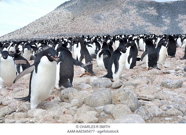 Adelie penguin colony Paulett Island, Antarctica 20081230 ()