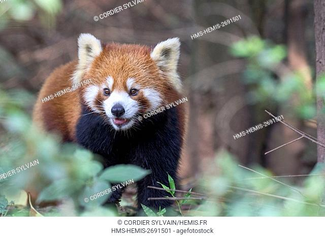 China, Sichuan, Research Base of Giant Panda Breeding or Chengdu Panda Base, Red Panda (Ailurus fulgens), captive, on the ground