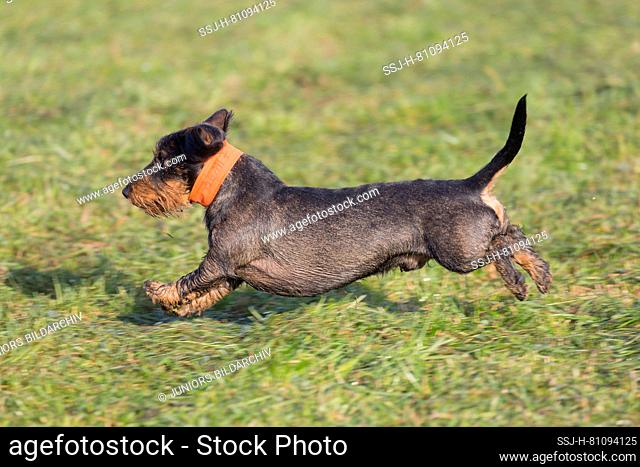 Wire-haired Dachshund. Adult male running on a meadow, during a hunt
