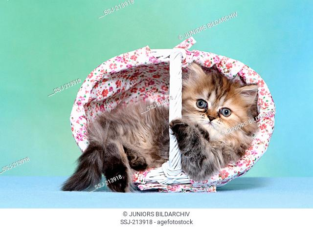 Persian Longhair. Kitten (6 weeks old) lying in a shopping basket. Studio picture against a blue background. Germany