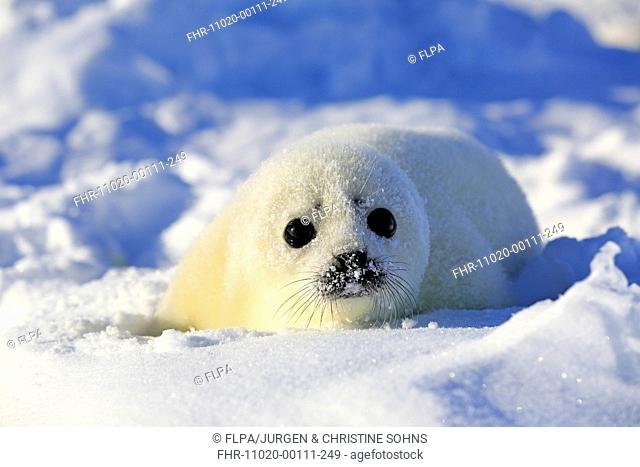 Harp Seal (Pagophilus groenlandicus) pup, resting on pack ice, Magdalen Islands, Gulf of St. Lawrence, Quebec, Canada, March
