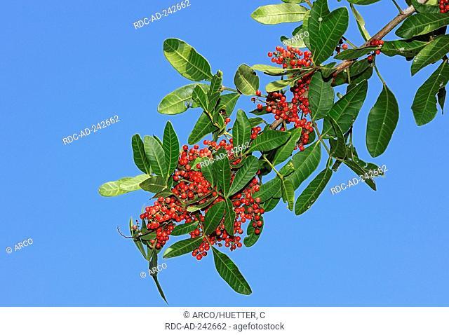 Brazilian Pepper Tree Florida USA Schinus terebinthifolius Pink Pepper Florida Holly Rose Pepper Christmasberry