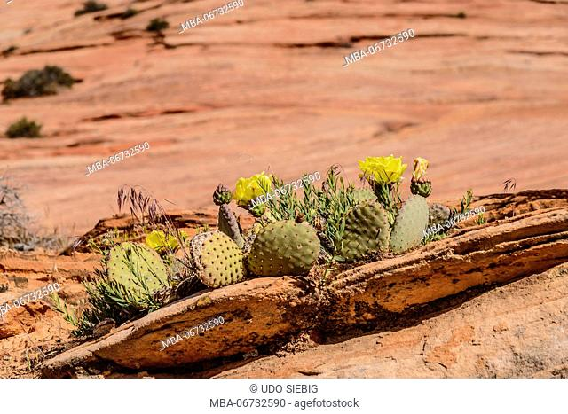 The USA, Utah, Washington county, Springdale, Zion National Park, part of town, Zion - Mount Carmel Highway, Prickly Pear Cactus, prickly pear