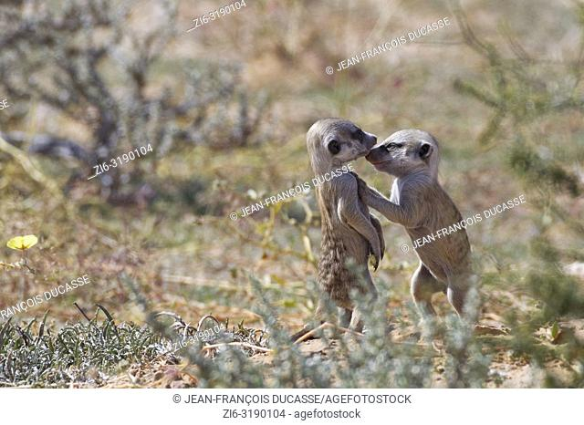 Meerkats (Suricata suricatta), two young males playing at burrow, nose to nose, Kgalagadi Transfrontier Park, Northern Cape, South Africa, Africa