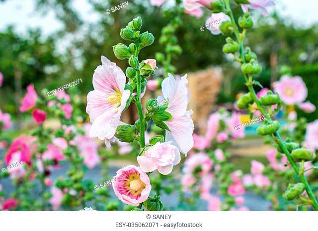Pink malva silvestris flower