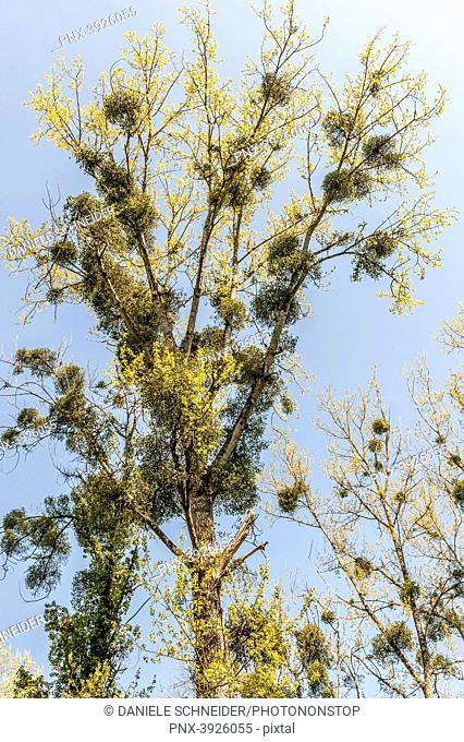 France, Gironde, in the middle of the Entre-deux-Mers region, Bagas, tree overgrown with mistletoe (Viscum album)
