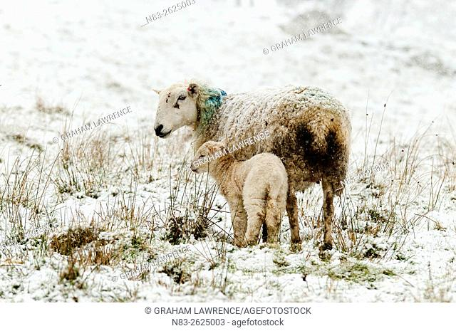 Ewes and lambs in a wintry landscape at springtime in Powys, Wales, UK