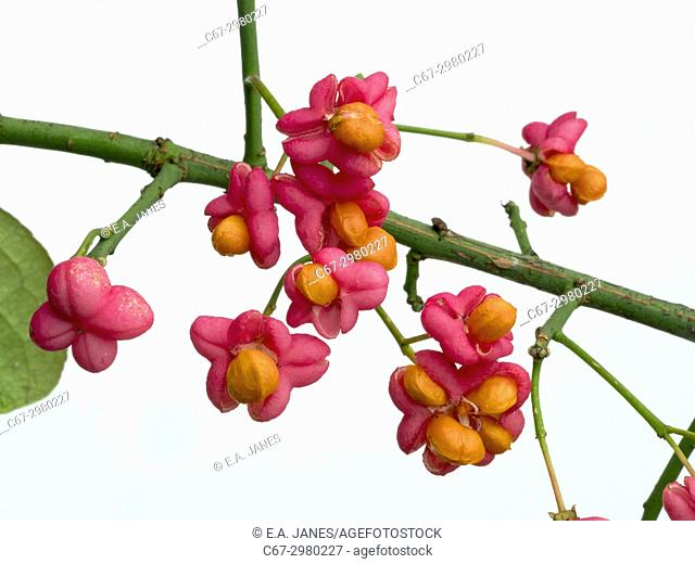 Spindle Euonymus europacus berries
